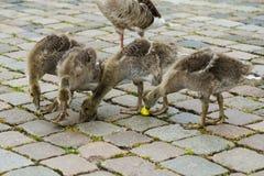 哺养在一个苹果的灰色鹅小鸡在一个城市环境里 免版税图库摄影