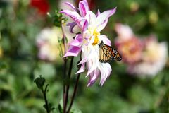 哺养在一朵桃红色大丽花野花的黑脉金斑蝶 库存图片
