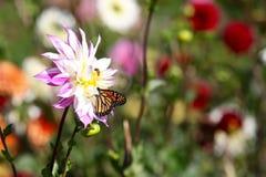 哺养在一朵桃红色大丽花野花的黑脉金斑蝶 图库摄影