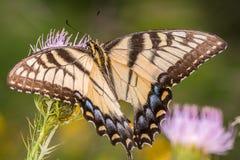 哺养在一朵紫色野花的Swallowtail蝴蝶在明尼苏达谷全国野生生物保护区在明尼苏达河附近 免版税库存照片