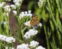 - 哺养在一热和晴朗的afternoo期间的红蛱蝶 免版税库存照片