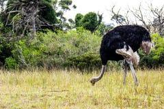 哺养在东开普省南非的野生驼鸟 库存图片