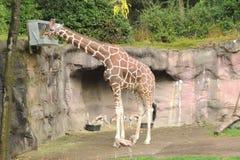 哺养在从箱子的动物园的长颈鹿 库存照片