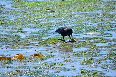 哺养在低潮的一个螃蟹的乌鸦在Bainbridge海岛老鹰港口 免版税库存照片