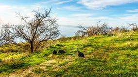 哺养在信号小山的一个象草的领域的珍珠鸡 免版税图库摄影
