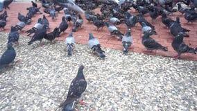 哺养在公园的鸽子 他们在混凝土飞行并且走 影视素材