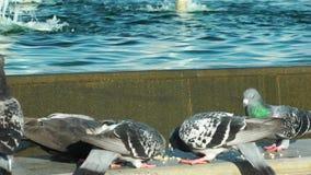 哺养在公园的鸽子 他们在混凝土飞行并且走 股票录像