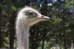 哺养在农场的驼鸟的好射击 免版税库存照片
