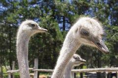 哺养在农场的驼鸟的好射击 库存照片