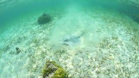 哺养在加勒比海底的Roughtail黄貂鱼 股票视频