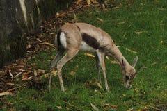 哺养在动物园的小非洲羚羊 库存图片