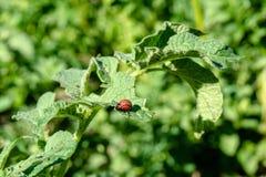 哺养在土豆灌木的科罗拉多甲虫的蛆 免版税图库摄影