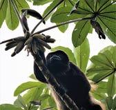 哺养在圣埃伦娜Cloudforest储备,哥斯达黎加的吼猴 免版税库存图片