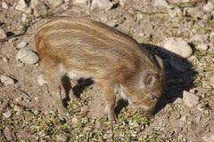 哺养在地面上的婴孩野公猪 动物背景 免版税库存图片