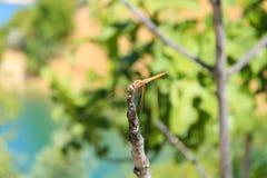 哺养在它的环境里的蜻蜓 库存照片
