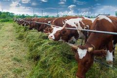 哺养在小牧场的母牛外面 免版税库存图片