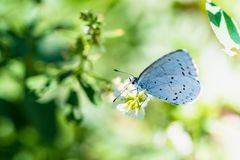 哺养在小白色fl的一只美丽的白色蝴蝶花蜜 库存照片