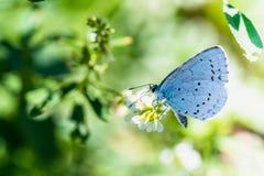 哺养在小白色fl的一只美丽的白色蝴蝶花蜜 库存图片