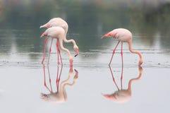 哺养在岸的三群桃红色火鸟 库存图片