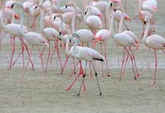 哺养在岸的桃红色火鸟大群在阿拉伯联合酋长国 免版税库存照片
