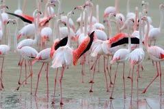哺养在岸的桃红色火鸟大群 免版税图库摄影
