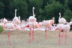 哺养在岸的桃红色火鸟大群  库存照片