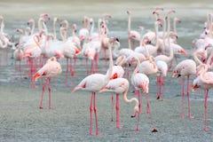 哺养在岸的桃红色火鸟大群 图库摄影