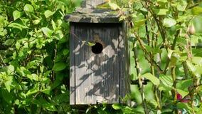哺养在巢箱的伟大的山雀年轻人 影视素材