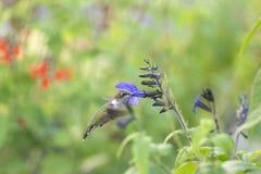 哺养在庭院里的红宝石红喉刺莺的蜂鸟 免版税库存图片
