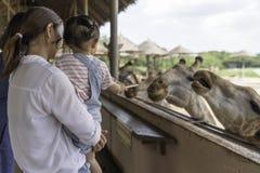 哺养在您的大长颈鹿的手上的亚裔可爱宝贝女孩在动物农场背景中 免版税库存图片
