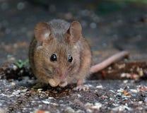 哺养在房子庭院里的老鼠 免版税库存照片