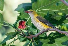哺养在无花果果子的母金黄金莺类 免版税库存图片