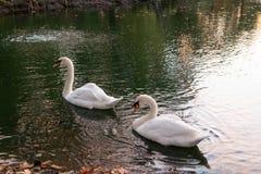 哺养在日落的两只天鹅 免版税库存照片