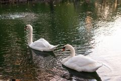 哺养在日落的两只天鹅 免版税库存图片