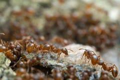 哺养在树汁的Myrmica蚂蚁 免版税库存照片