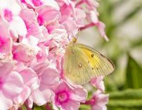 哺养在桃红色福禄考的被覆盖的白蝴蝶开花 库存照片