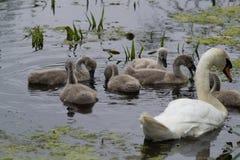哺养在水中的天鹅和小天鹅 免版税库存图片