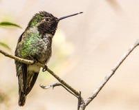 哺养在沙漠的蜂鸟 免版税库存照片