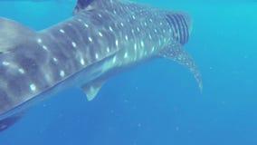 哺养在浮游生物的鲸鲨在离海岸的附近 影视素材