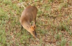 哺养在海岛上的一惊人的雄鹿Muntjac鹿麂属reevesi在有非常突出它的舌头的一个湖中间  库存图片