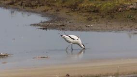 哺养在湖边的长嘴上弯的长脚鸟 股票视频