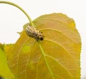 哺养在白扬树叶子的叶子甲虫幼虫 免版税库存图片