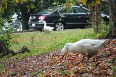 哺养在秋天的两只鹅 免版税图库摄影