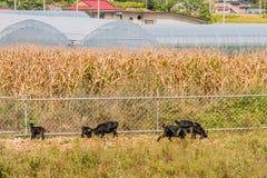 哺养在篱芭旁边的黑山羊家庭  库存图片