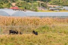哺养在篱芭旁边的黑山羊家庭  免版税图库摄影
