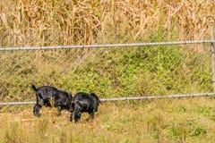 哺养在篱芭旁边的黑山羊 免版税库存图片