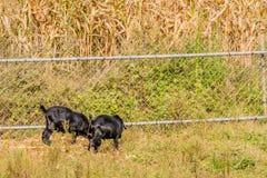 哺养在篱芭旁边的黑山羊 免版税库存照片