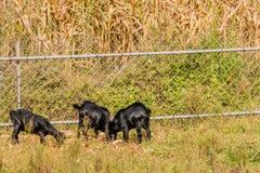 哺养在篱芭旁边的黑山羊 图库摄影