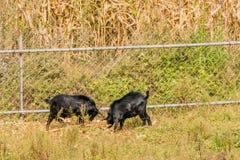 哺养在篱芭旁边的黑山羊 免版税图库摄影