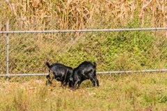哺养在篱芭旁边的黑山羊 库存图片